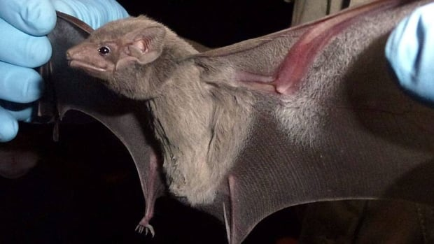 The virus was found in a bat of the Taphozous perforatus species.