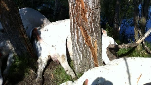 18 cattle died when they sought shelter under a tree and lightning struck.