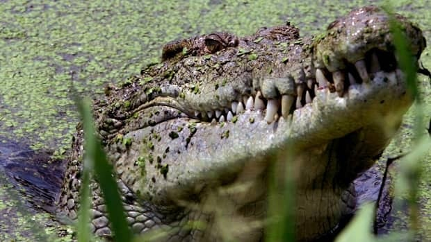 A crocodile lifts its head from a lake near Darwin, Australia, in this May 2005 photo. Police have found the body of a man who was attacked by a 4.7-metre-long crocodile while swimming in a Northwest Territory river. David Gray/Reuters