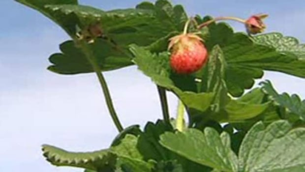 The strawberry export business is worth millions to Nova Scotia farmers.