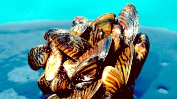 Mussels attach to rocks, ships and other structures underwater using small hair-like fibres called byssus threads.