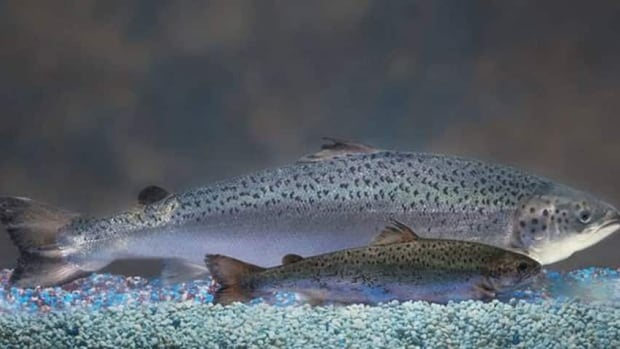 AquaBounty fish are genetically modified to grow twice as quickly as regular salmon.
