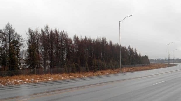 A family who owns a house behind a grouping of tamarack trees that line a highway in Thunder Bay say the trees are ruining their roof.