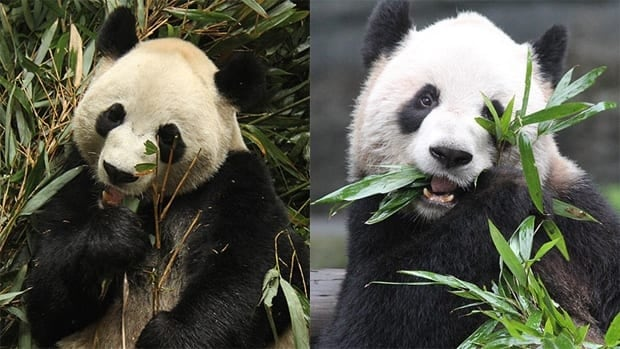 Two giant pandas — a four-year-old male, Da Mao, left, and a five-year-old female, Er Shun, right — are expected to arrive at the Toronto Zoo on March 25. The pandas are expected to spend five years in Toronto, then five years in Calgary.