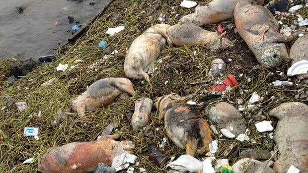 Chinese officials say they've found 900 pigs floating in the Shanghai river and are increasing their monitoring of the the river's water quality.