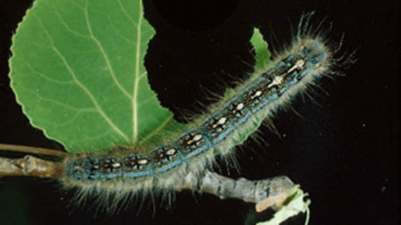 Caterpillars, yellow jackets numbers spike in hot, dry
