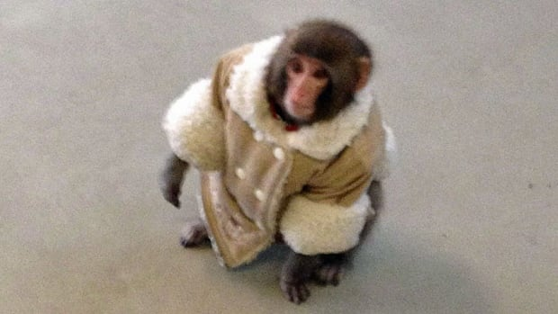 "Darwin the Ikea monkey has grown into a ""much larger, energetic and rambunctious juvenile,"" during the nearly two years he has spent at a sanctuary in Sunderland, Ont."