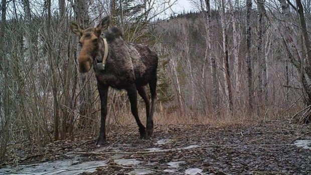 If people see a moose with a radio collar in the northwest, they should contact their local Ministry of Natural Resources office.