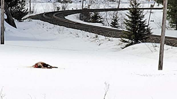 More than a dozen elk were killed after being struck by a train near Burwash, south of Sudbury, Ont., a couple of weeks ago. About 200 Elk were brought to the Burwash area from Alberta in the late 1990s and early 2000s as part of the Sudbury Elk Restoration Project. It's believed there are currently about 140 animals in the Sudbury herd.