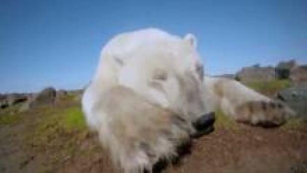 ns-polar-bear_220x124_1