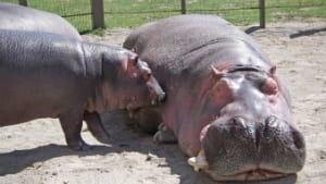hippopotamus031-169