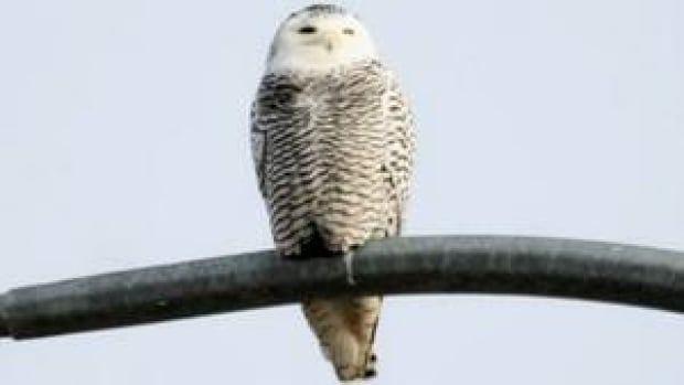 hi-bc-121205-snowy-owl-bennett-bridge-4col