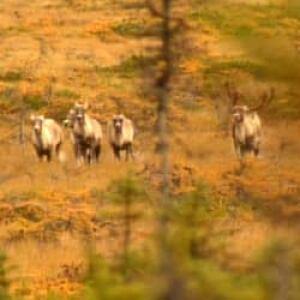 nl-caribou-autumn-file