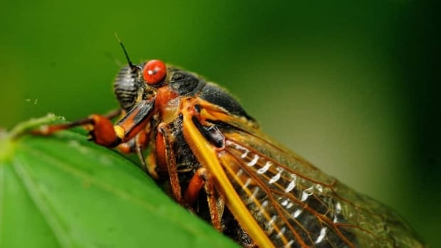 Alberta has cicadas too, but not massive 'Brood X' numbers emerging in U.S. after 17 years underground