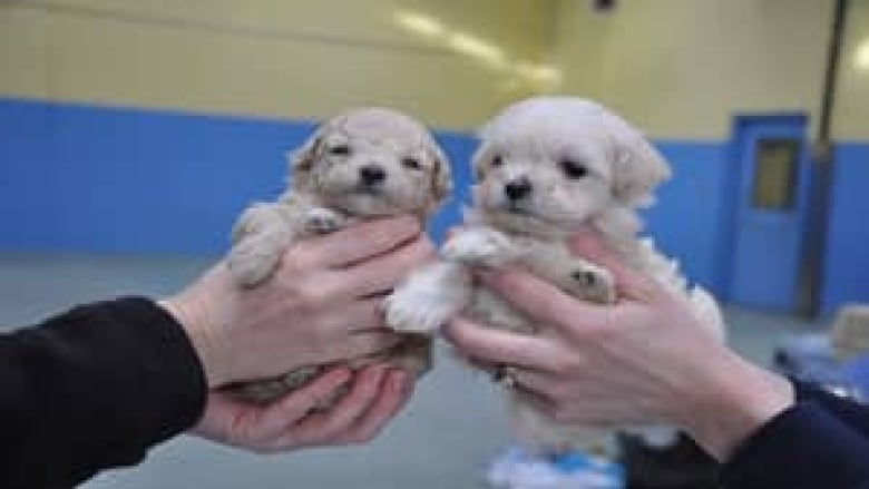 45 Miniature Poodles Seized From Vancouver Island Home Cbc