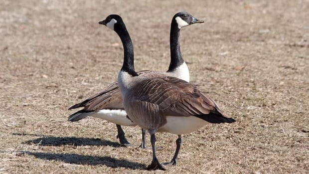 Police in Gatineau, Que., have charged a man after a Canada goose was shot and killed with a bow and arrow in a Walmart parking lot on Wednesday.
