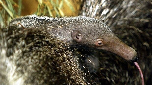 A baby anteater, not the one pictured, has stumped officials at the LEO Zoological Conservation Center in Connecticut after being born in a pen without a male anteater present since August.
