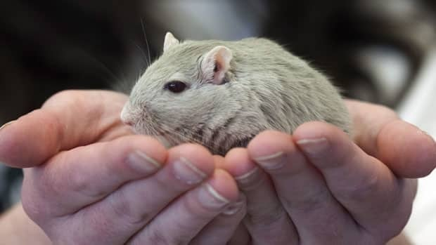 At the American Gerbil Society's annual pageant gerbils are judged on body type, colour and agility.