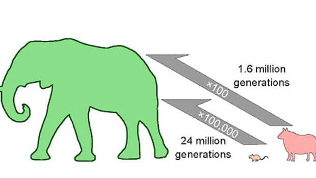 A mouse-to-elephant size change would take at least 24 million generations based on the maximum speed of evolution in the fossil record. Becoming smaller can happen much faster than becoming bigger: the evolution of pygmy elephants took 10 times fewer generations than the equivalent sheep-to-elephant size change.