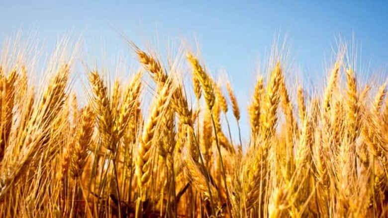 why are we waging a war on wheat cbc news