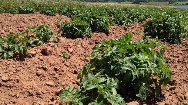 Dry weather has withered some P.E.I. potato plants