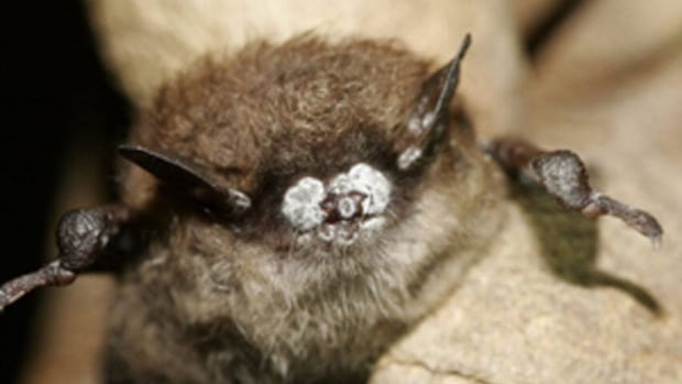 White nose fungus has devastated little brown bat populations across eastern North America.