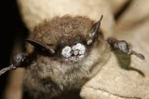 sm-220-bat-white-nose-syndrome-02476308