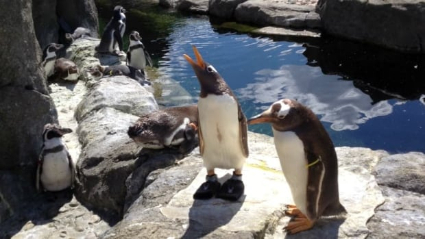 Two gentoo penguins stand in the Penguin Plunge exhibit at the Calgary Zoo. There have been seven penguin deaths at the zoo since December 2012. (Karen Moxley/CBC)