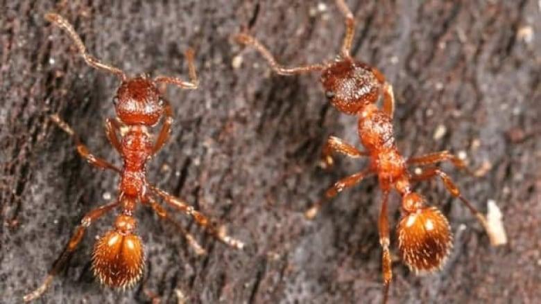 Fire Ants Invading B C Gardens Cbc News