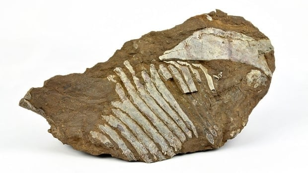 The fossil comes from a branch of reptiles described as mammal-like as they are thought to be the ancient ancestors of modern mammal species.