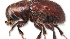 mi-mountain-pine-beetle