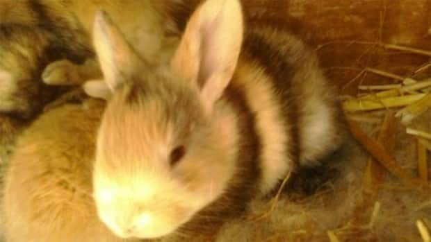 Have you seen this cute little guy? He is one of four baby rabbits taken from Hennigar's Farm Market this week.