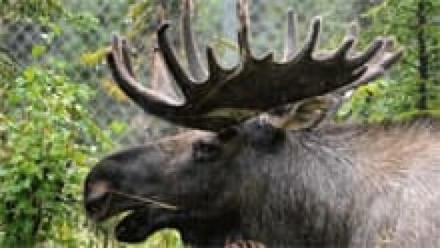 moose-220