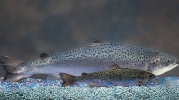 The AquaBounty fish grow at twice the rate of regular salmon. Both the fish in this picture are the same age.
