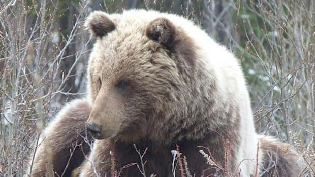 This grizzly was shot legally along Tagish Road last month.