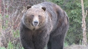 si-bc-120503-bear-homer-grizzly-2