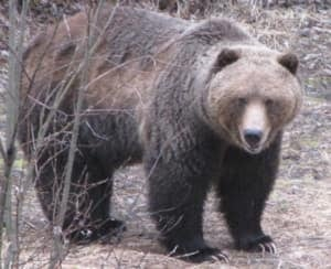 si-bc-120503-grizzly-bear-homer