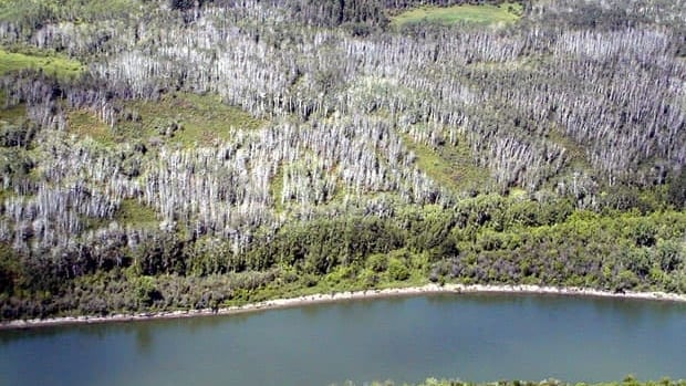 A 2004 photo shows aspen killed during the 2001-02 drought near the southern edge of the boreal forest in the South Saskatchewan River valley. A Lakehead University study suggests that younger forests tend to be more vulnerable to drought than older forests.