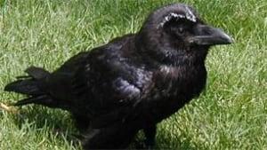 sk-raven2006