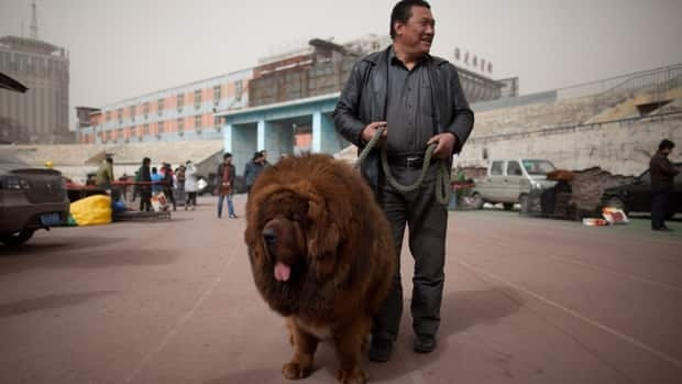 The big, hairy Tibetan mastiff breed of dog has become a prized status symbol among China's wealthy. More recently, the dog had its day at the People's Park of Luohe, China, where it confused visitors who saw it in the zoo's African lion enclosure.