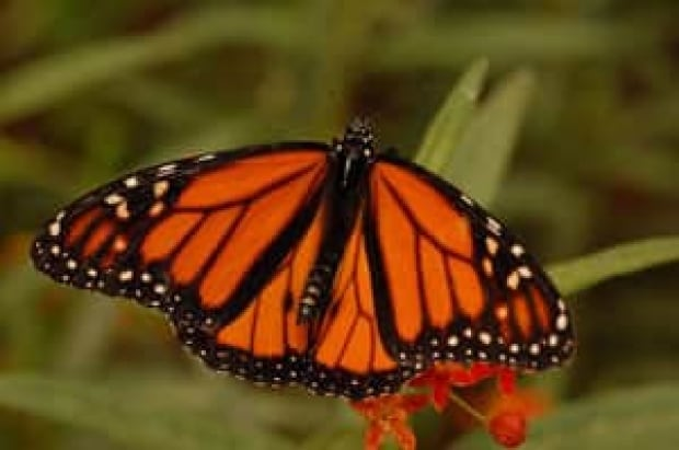 sm-300-monarch-jessica-linton-4