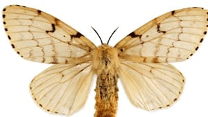 asiangypsymoth