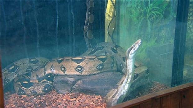 Boa constrictors, like the one pictured here, aren't considered dangerous to humans, but officials are advising people to steer clear and contact authorities if they come across the missing snake.