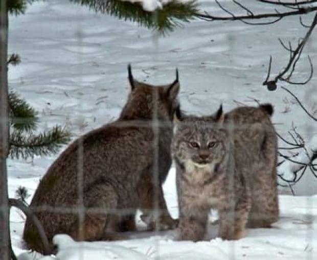 si-lynx-little