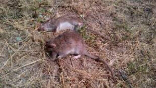 si-rats-dead