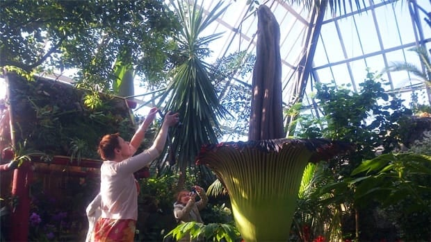 Edmonton's Muttart Conservatory is attracting crowds of vistors to see and smell the giant Putrella or corpse flower is blooming and giving off an unusual rotten-meat-like stench.