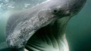 hi-nb-basking-shark-cp-6696015-852