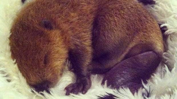 This premature beaver kit was brought into the Wildlife Haven Rehabilitation Centre on Tuesday after a trapper removed it from its mother's womb. Three other kits that were also found had died.