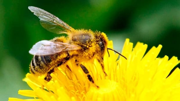 Canadian government scientists have found evidence that neonicotinoid pesticides were linked to mass bee deaths during the spring corn planting in Ontario and Quebec in 2012.