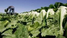 hi-romaine-lettuce-852-ap-8826889